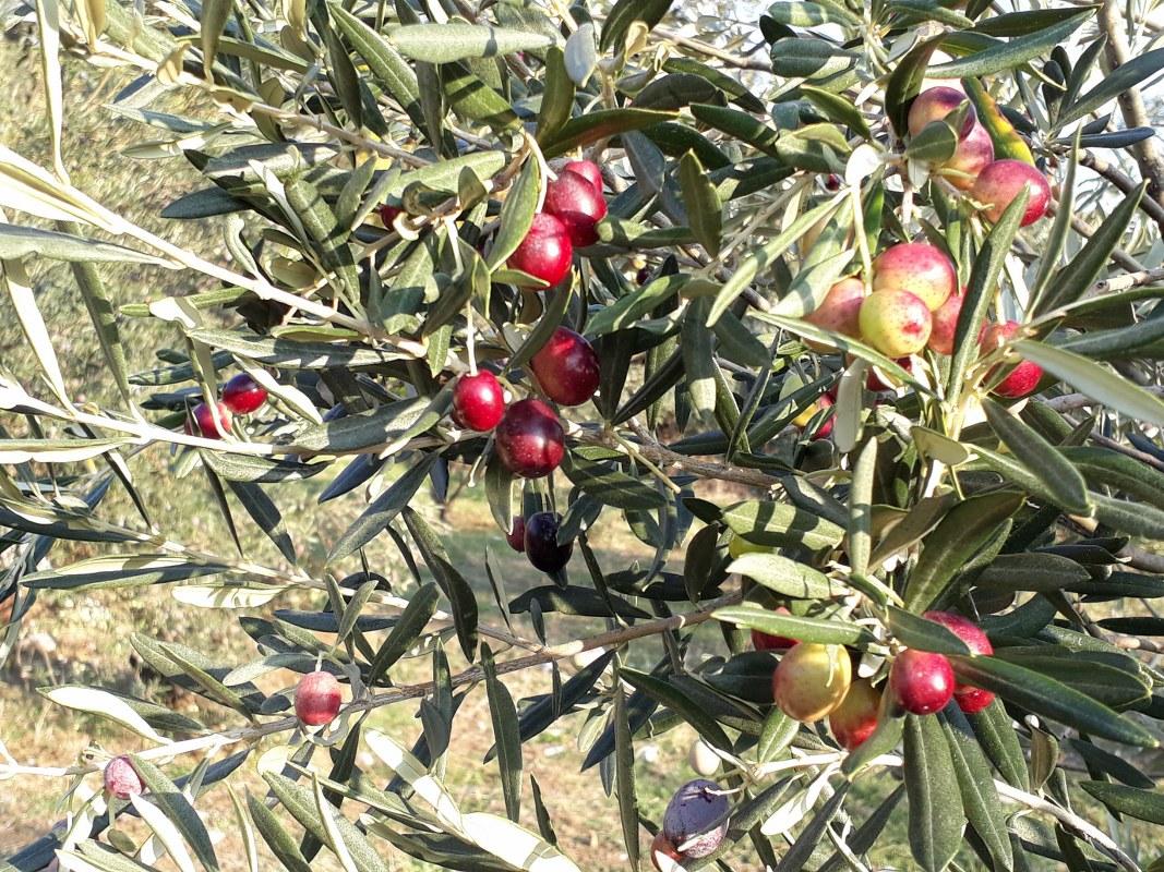 sarigerme_garden_olive_.jpg